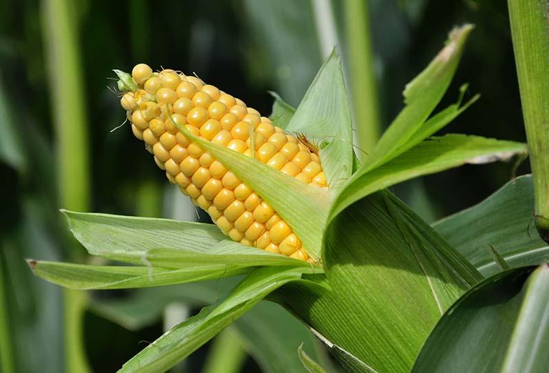 Maize Machinery Kurima