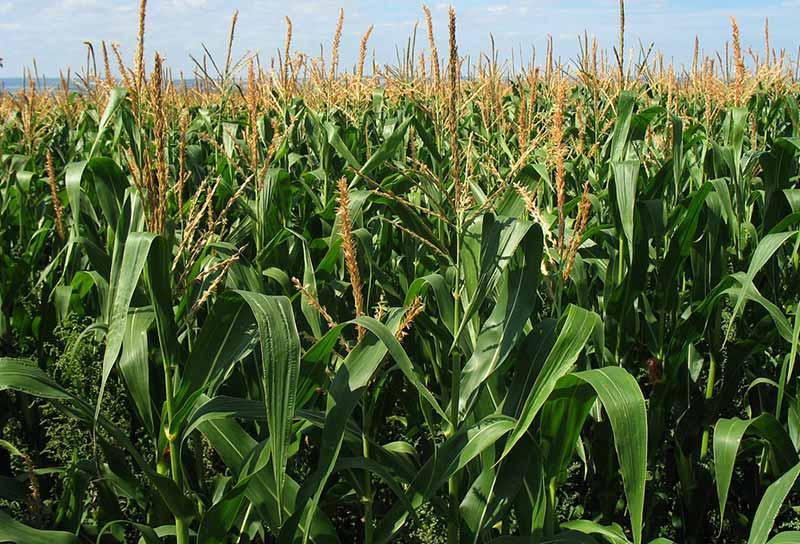 Maize Field Kurima Machinery